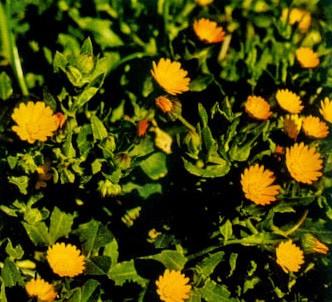 Fotografía de la planta Maravilla - Caléndula