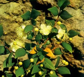 Fotografía de la planta Mirto - Arrayán