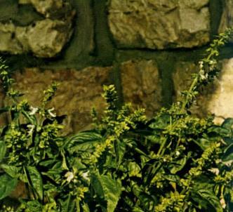 Fotografía de la planta Albahaca