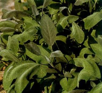 Fotografía de la planta Salvia