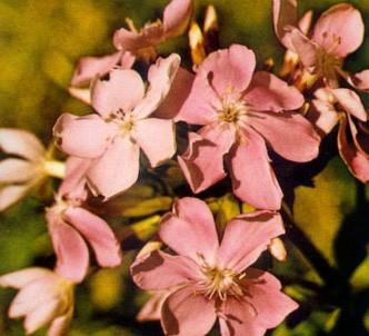 Fotografía de la planta Saponaria
