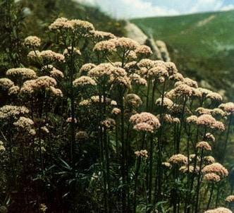 Fotografía de la planta Valeriana