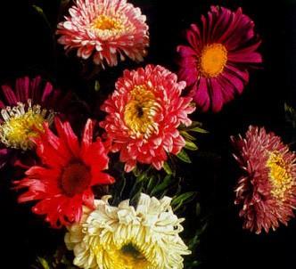 Fotografía de la planta Reina margarita