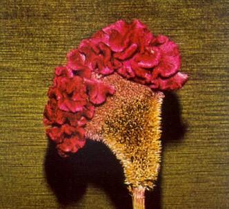 Fotografía de la planta Celosía - Cresta de gallo
