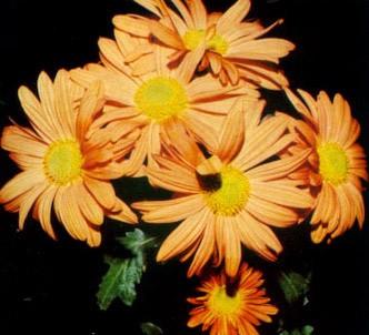 Fotografía de la planta Crisantemo flores semidobles