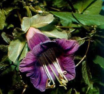 Fotografía de la planta Cobea