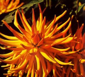 Fotografía de la planta Dalia cactus