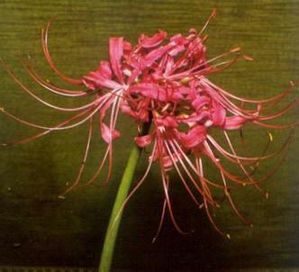 Fotografía de la planta Licóride