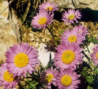 Fotografía de la planta Aster