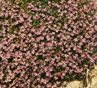 Fotografía de la planta Aubrecia