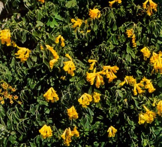 Fotografía de la planta Fumaria amarilla