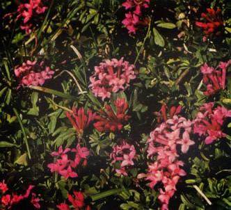 Fotografía de la planta Torvisco de los pirineos