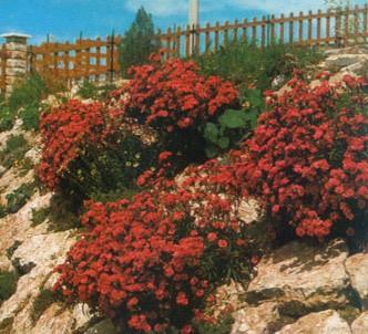 Fotografía de la planta Clavel rojo