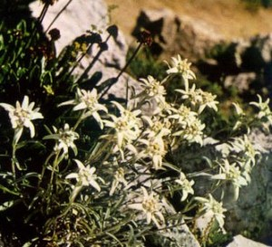 Flor de nieve - Lentopodio