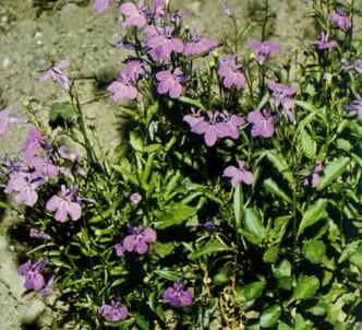 Fotografía de la planta Lobelia azulada