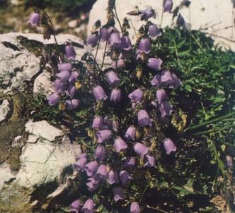 Fotografía de la planta Campánula C.