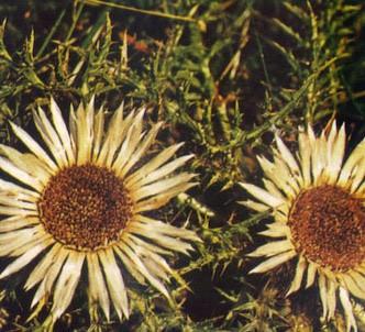 Fotografía de la planta Carlina angélica