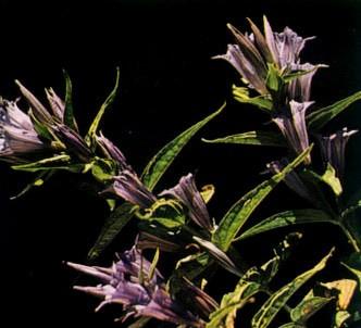 Fotografía de la planta Genciana asclepiadea
