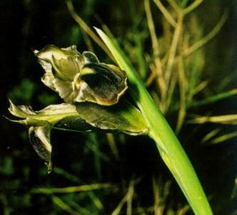 Fotografía de la planta Iris tuberosa