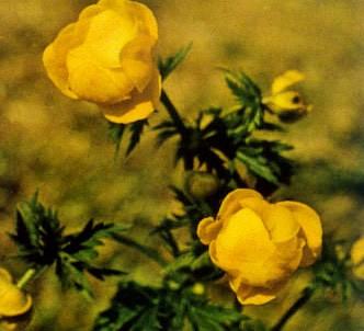 Fotografía de la planta Flor de san pallari