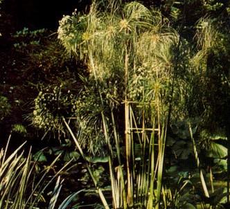 Fotografía de la planta Papiro