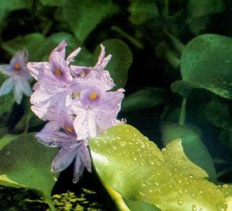 Fotografía de la planta Jacinto de agua