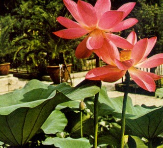 Fotografía de la planta Flor de loto