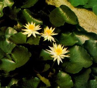 Fotografía de la planta Nenúfar