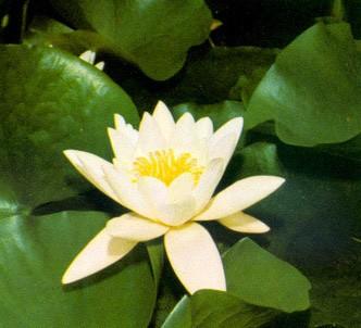 Fotografía de la planta Nenúfar perfumado