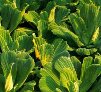 Fotografía de la planta Lechuga de agua