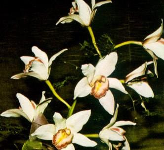 Fotografía de la planta Cymbidium
