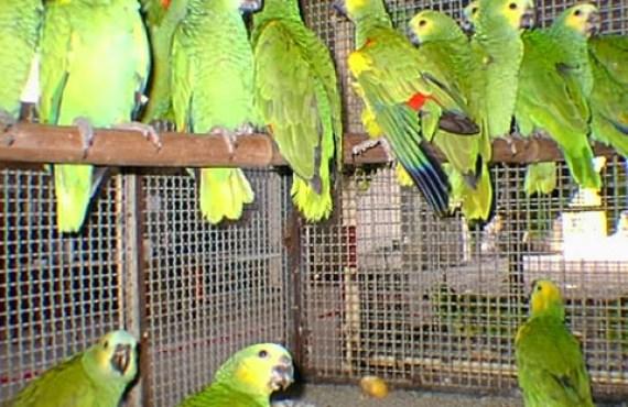 Informan que esta prohibido la caza de aves silvestres para mascotas