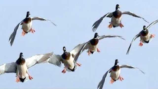 مرغابی کے شکار