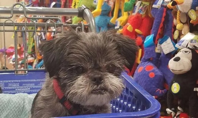 Ronan Ranger, a Shih Tzu rescue dog with Lend A Helping Paw Shih Tzu Rescue (LAHPSTR)