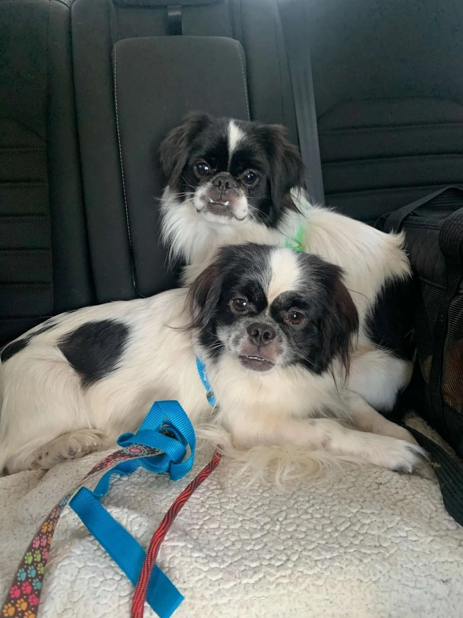 Kiko and Yuki Edinburg, two Japanese Chin rescue dogs with Lend A Helping Paw Shih Tzu Rescue (LAHPSTR)
