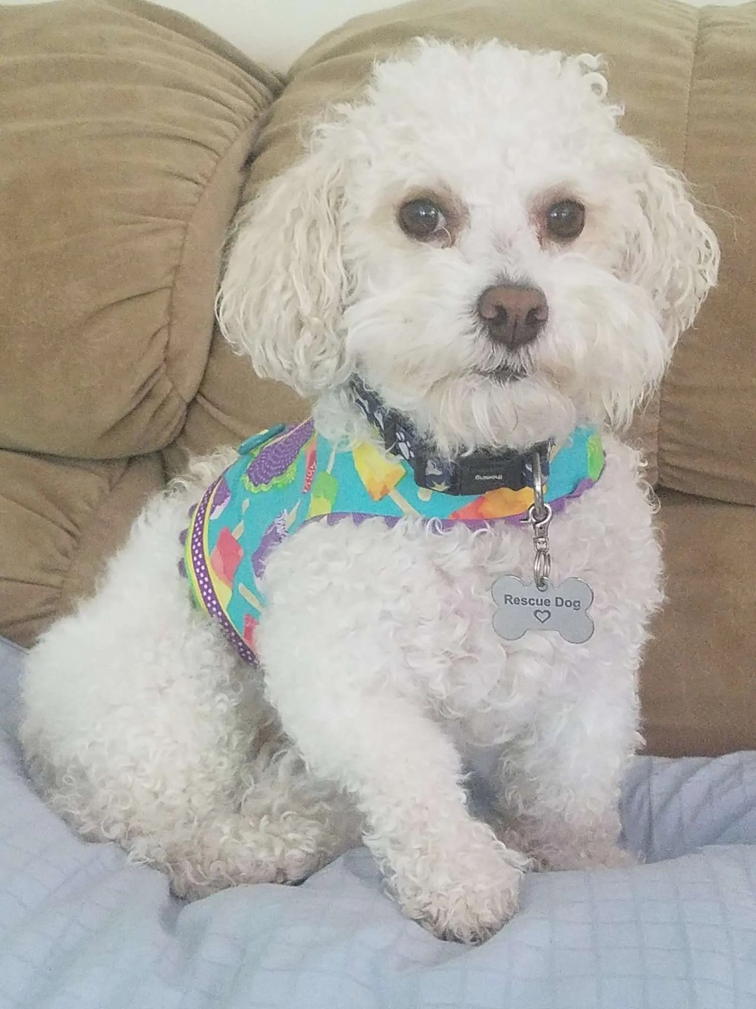 Kenzo Trotter, a Bichon rescue dog with Lend A Helping Paw Shih Tzu Rescue (LAHPSTR)
