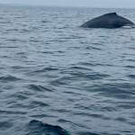 Humpback whales in Ecuador.