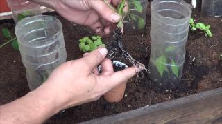 Como Tener Nuevas Plantas de Tomate en 15 Dias