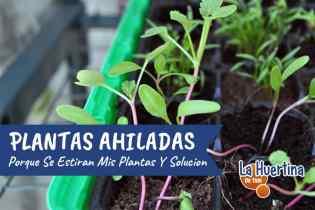 Problemas En El Semillero : Plantas Ahiladas