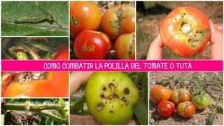Te De Jengibre Para Combatir La Polilla Del Tomate O Tuta Absoluta
