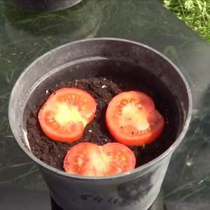 Germinar Un Tomate Del Supermercado