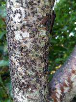 El pulgón de la madera, la nueva plaga