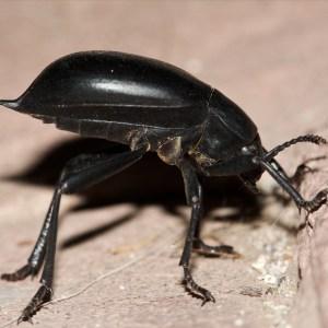 Aliados del Huerto: El Escarabajo de Cementerio
