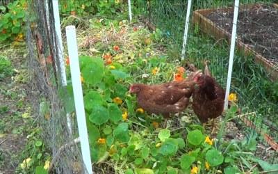 Como Usar Y Ventajas Del Gallinero Movil O Chicken Tractor En El Huerto
