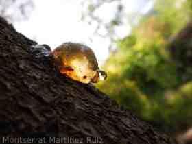 La Gomosis en los Árboles Frutales