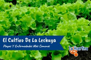 Plagas Y Enfermedades Mas Comunes Del Cultivo De La Lechuga