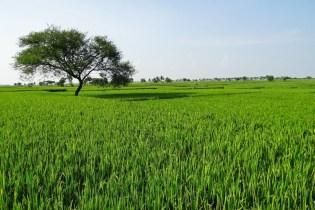 Plagas y Enfermedades del cultivo del Arroz y Como Combatirlas