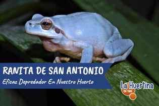 La Ranita de San Antonio un Depredador más del Huerto
