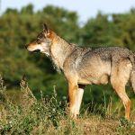 La situación del lobo en Iberia