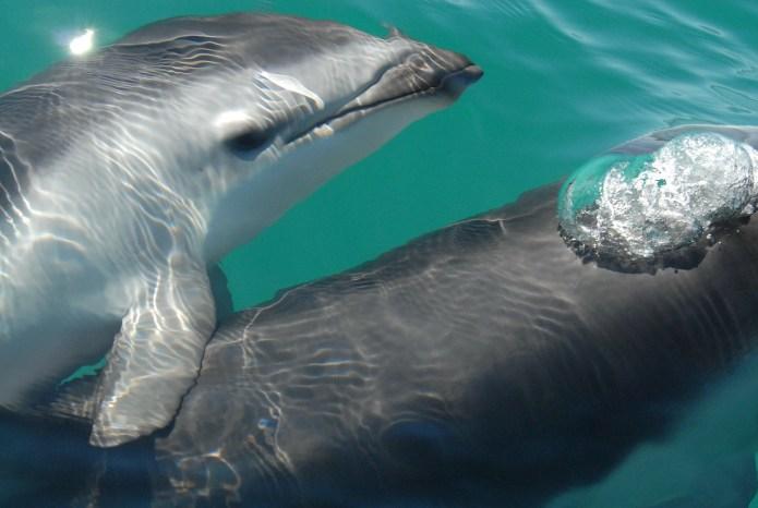 dusky-dolphin-79850_1280_pixabay_com